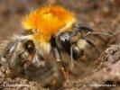 Čmelák (Bombus sp.)