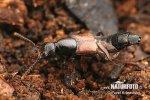 Drabčík (Hesperus rufipennis)