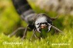 Drabčík (Ocypus nitens)