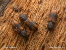 Dřevožrout zejkovaný (Bitoma crenata)