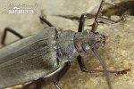 Fuzáč drsnotykadlový (Aegosoma scabricorne)