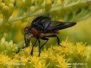 Hbitěnka polokřídlá (Phasia hemiptera)
