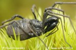 Klepítník členěný (Ischyropsalis hellwigi hellwigi)