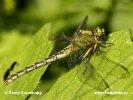Klínatka rohatá (Ophiogomphus cecilia)