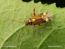 Klopuška (Rhabdomiris striatellus)