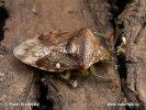 Kněz mateřský (Elasmucha grisea)