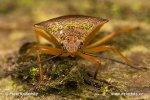 Kněžovka (Acanthosomatidae)