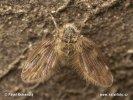 Koutule (Clogmia albipunctata)