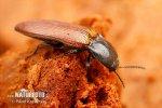 Kovařík (Ampedus pomorum)