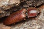 Kovařík (Stenagostus rufus)