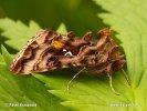 Kovolesklec brusnicový (Autographa pulchrina)