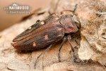 Krasec šestitečný (Chrysobothris affinis)