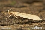 Krásněnka (Oecophoridae)