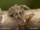 Křižák hrbatý (Gibbaranea gibbosa)