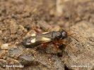 Křižák luční (Globiceps flavomaculatus)