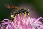 Kutilka (Cerceris rybyensis)