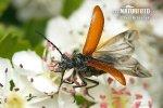 Květomil hlohový (Omophlus proteus)