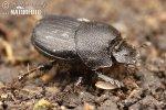 Lejnožrout (Onthophagus semicornis)