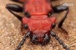 Lesák rumělkový (Cucujus cinnaberinus)