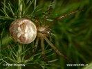 Meta podzimní (Metellina segmentata)