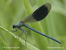 Motýlice lesklá (Calopteryx splendens)