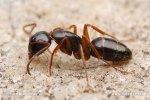 Mravenec (Camponotus fallax)