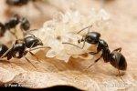 Mravenec (Tapinoma erraticum)