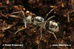Mravenec černohnědý (Formica fusca)