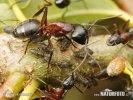 Mravenec dřevokaz (Camponotus ligniperda)