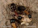 Mravenec obrovský (Camponotus herculeanus)