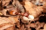 Mravenec otrokářský (Polyergus rufescens)