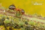 Mravenec (Formica execta)