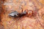 Mravenec (Crematogaster scutellaris)