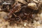 Mravenec zemní (Ponera coarctata)