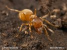 Mravenec žlutý (Lasius flavus)