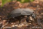 Mrchožrout černý (Phosphuga atrata)