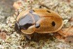 Mrchožrout housenkář (Dendroxena quadrimaculata)