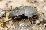 Mrchožrout obecný (Silpha obscura)