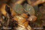 Mšice (Aphididae)