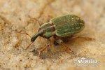 Nosatec (Hypera nigrirostris)