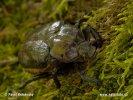 Páchník hnědý (Osmoderma eremita)
