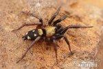 Pavouk (Callilepis schuszteri)
