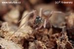Pavučenka dvouhlavá (Thyreosthenius biovatus)