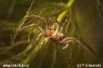 Pavúk vodný (Argyroneta aquatica)