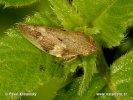 Pěnodějka olšová (Aphrophora alni)