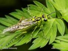 Pilatka zelená (Rhogogaster viridis)