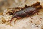 Pilous černý (Sitophilus granarius)
