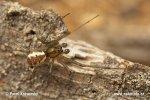 Plachetnatka keřová (Linyphia triangularis)