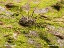 Plachetnatka nákorní (Drapetisca socialis)