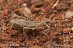 Plošík (Trogulus sp.)